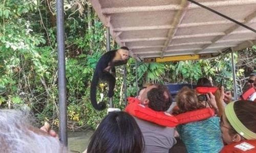 Mono cara blanca en un bote con Turistas