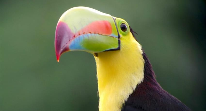 Tucan, 4-Hour Bird Watching Tour