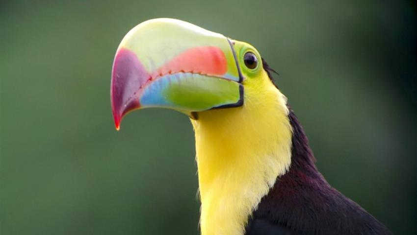Tucan, 4-Hour Bird Watching Tour