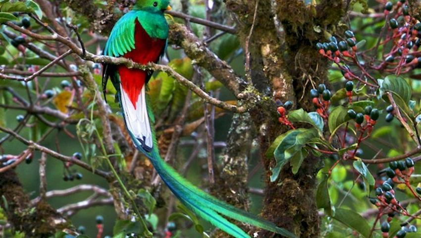 Quetzal, 5-Hour Bird Watching Tour