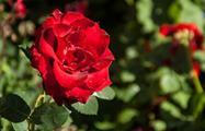 beautiful roses - tiqy, Alcazaba Walking Tour