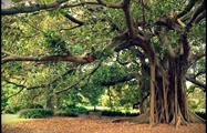 Anciente to Early Sydney tree, Ancient to Early Sydney