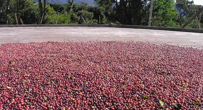 4, Boquete Coffee Experience