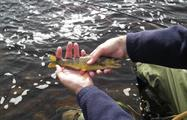 little brown trout - tiqy, Break and Adventures in Upper River Tees