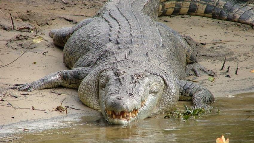 Cape Tribulation Tour Crocs, Cape Tribulation Tour