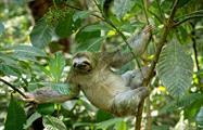 Sloth, Carara National Park Half Day Tour