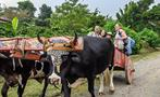 Bulls, Coffee, Chocolate and Sugar Cane Tour