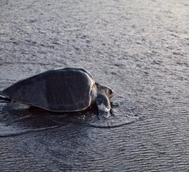 Turtle Watching Tour