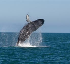 Whale Watching, Adventure Tours in Panama