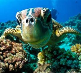 Turtles Snorkeling