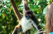 Monkey in the jungle of Belize, Lamanai Tour