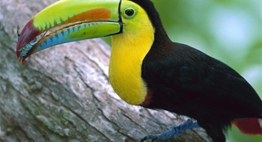 Tucan - tiqy, Gatun Lake Nature Tour