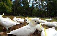 Great Ocean Road Classic Tour birds yellow, Great Ocean Road Classic Tour