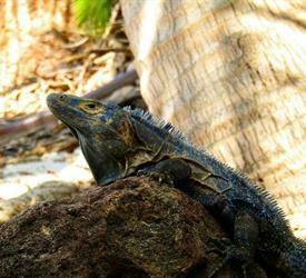 Iguana Island Tour