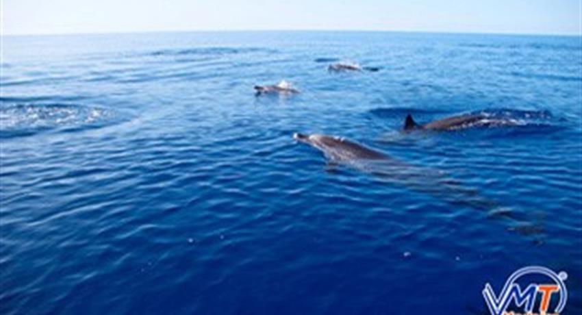 dolphin and whale watching - tiqy, Avistamiento de Ballenas y Delfines en Madeira