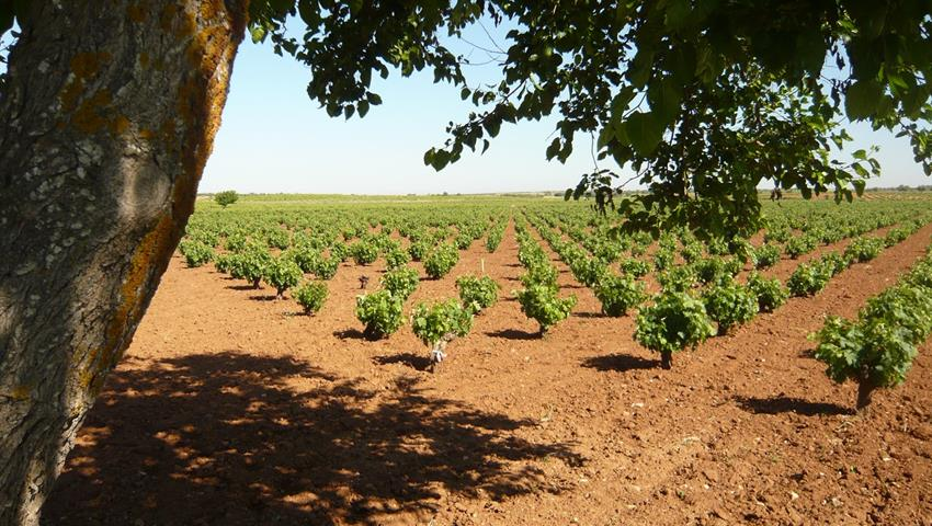 field of grapes fro wine production, Madrid Wine Tour