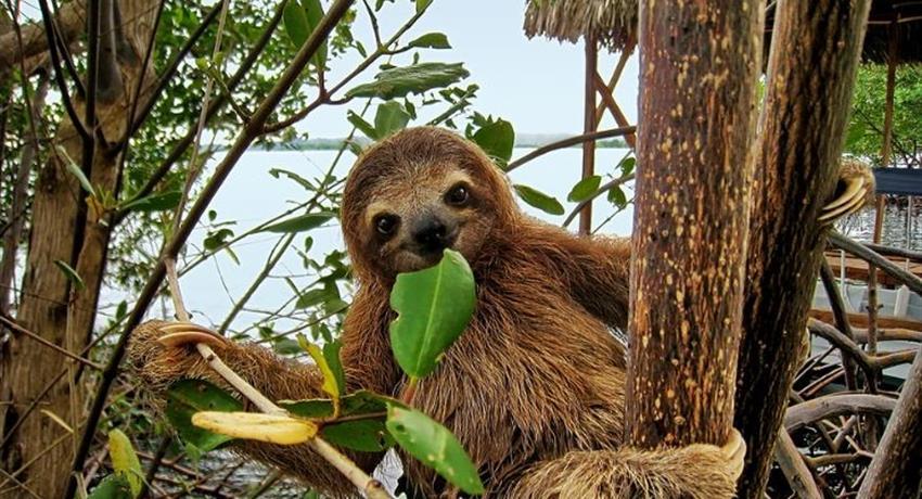 A cute baby sloth, Mangrove Kayak Tour in Isla Damas