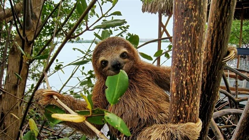 A cute baby sloth, Mangrove Kayak Tour in Isla Damas