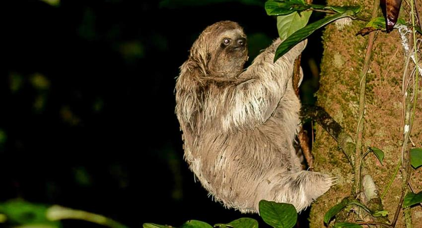 Sloth awaking, Night Tour to Rainmaker Park