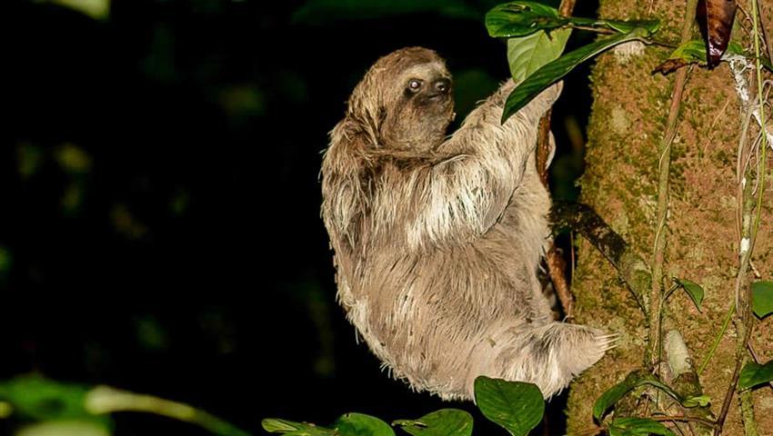 Sloth awaking, Night Tour to Rainmaker Park