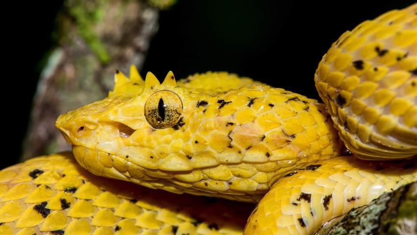 Yellow snake, Night Tour to Rainmaker Park