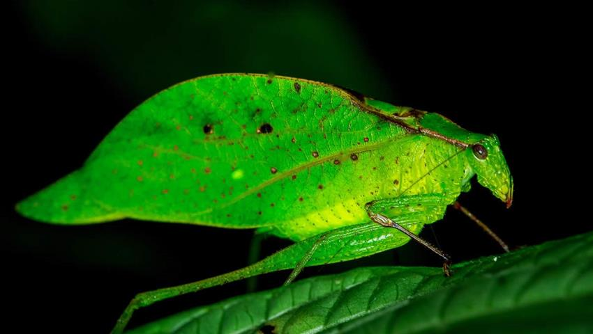 Leef insect, Night Tour to Rainmaker Park