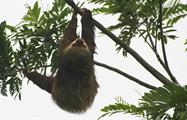 Sloth, Peñas Blancas River 3-Hour Tour