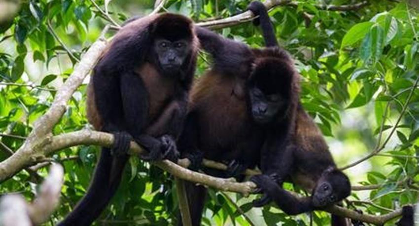 monos, Peñas Blancas River Tour