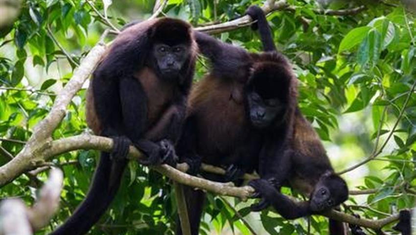 monos, Tour por el río Peñas Blancas