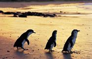 Penguin Parade Afternoon Wildlife Tour pinguins, Penguin Parade Afternoon Wildlife Tour
