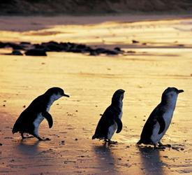 Penguin Parade Afternoon Wildlife Tour , Wildlife Experiences in Australia