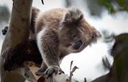 Penguin Parade Afternoon Wildlife Tour koala, Penguin Parade Afternoon Wildlife Tour