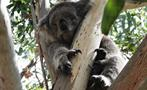 Phillip Island Penguin Parade Tour koala, Phillip Island Penguin Parade Tour