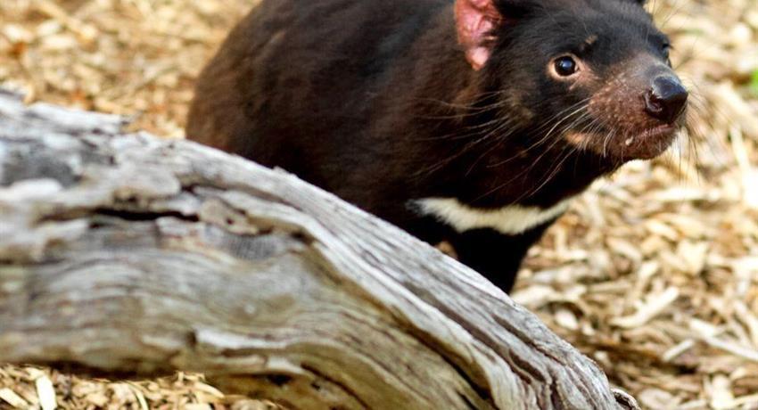 Phillip Island Penguin Parade Tour tasmania devil, Phillip Island Penguin Parade Tour
