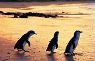Phillip Island Penguin Parade Tour, Phillip Island Penguin Parade Tour