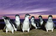 Phillip Island tour penguins, Phillip Island Tour