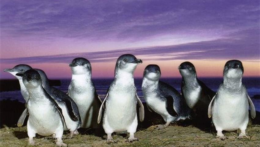 Phillip Island tour penguins, Phillip Island Tour