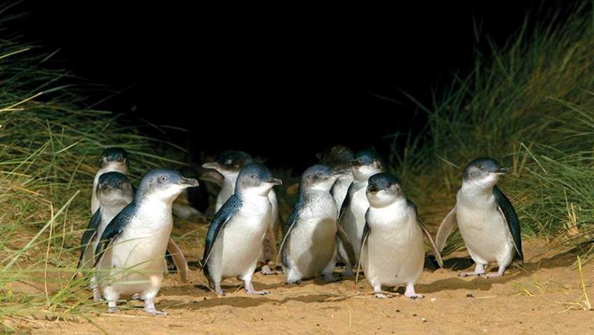 Phillip Island tour little penguin, Phillip Island Tour