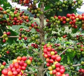 Experience Farm Coffee Tour