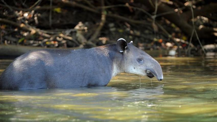 Tapir, Rincon de la Vieja 8-Hour Adventure