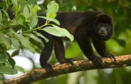 Howler monkey, Rincon de la Vieja 8-Hour Adventure