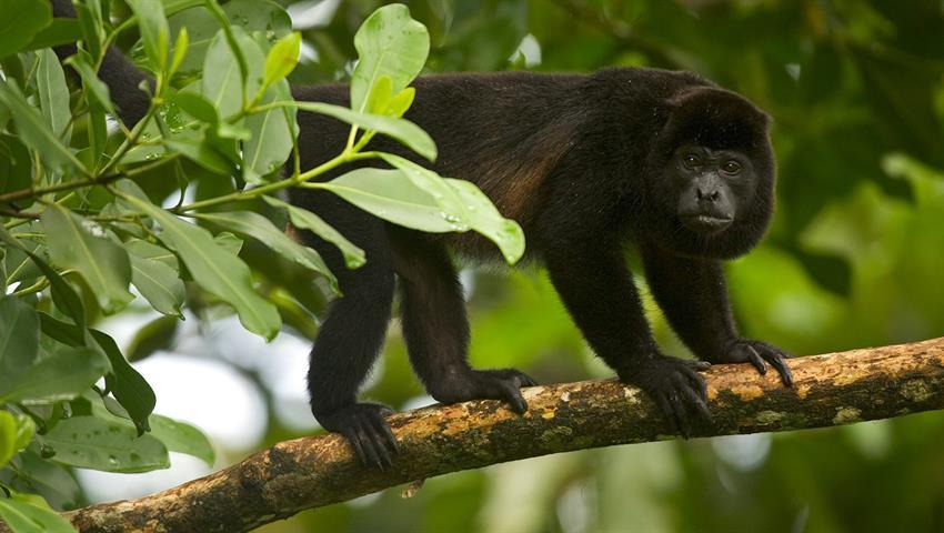 Howler monkey, Aventura de 8 horas en Rincón de la Vieja