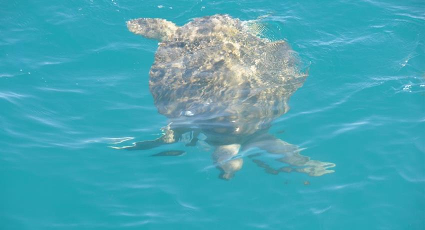 snubfin dolphin tiqy, Snubfin Dolphin Eco Tour
