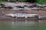 a cocodrile in a river, The Kingdom of Rainforests and Tropical Fauna