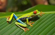 green frog, The Kingdom of Rainforests and Tropical Fauna
