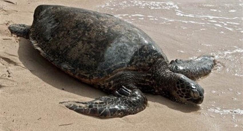 marine turtle in the beach, Tortuguero National Park