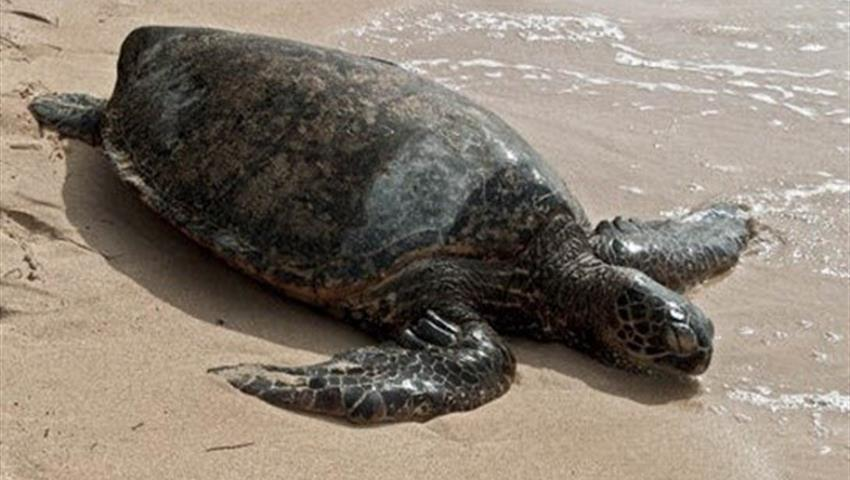 marine turtle in the beach, Tortuguero National Park
