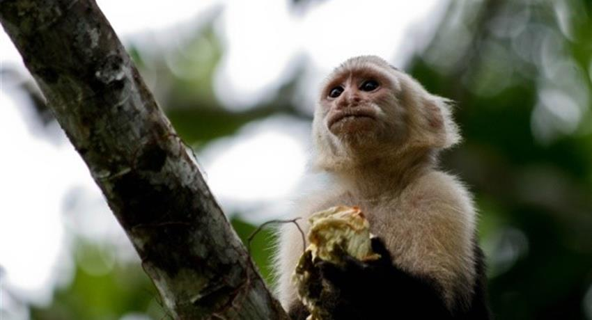a monkey eating its fruits, Tortuguero National Park