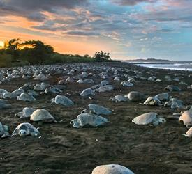 Turtle Watching in Ostional Beach , Wildlife Experiences in Costa Rica