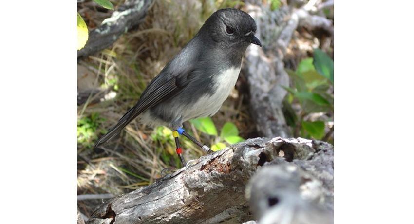 bird tiqy, Ulva Island Guided Walk